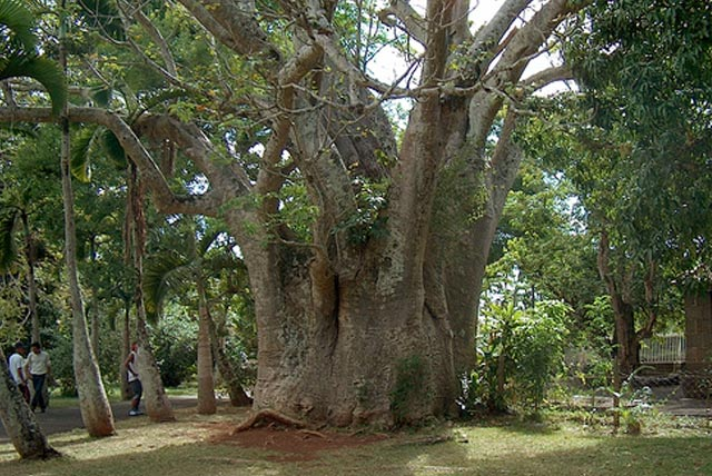 Sacred Fig Tree